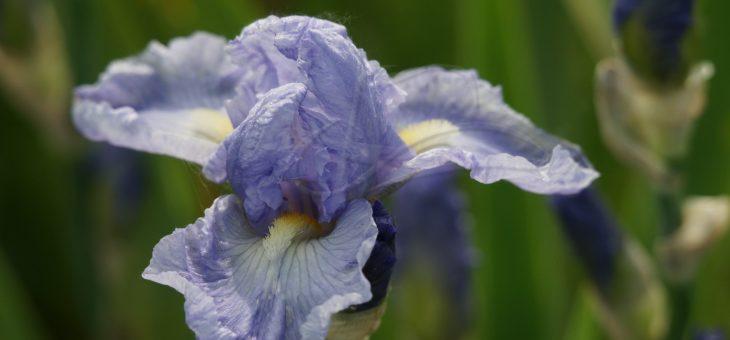 Les iris de Champigny sur Veude